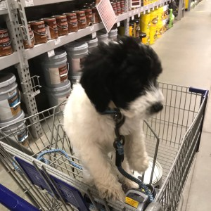 Little puppy in Lowes