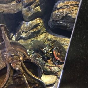 Big lobsters Ripleys aquarium Myrtle Beach South Carolina