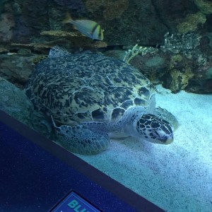 Giant female sea turtle Ripleys aquarium Myrtle Beach South Carolina