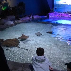 Stingrays ripley's Aquarium Myrtle Beach south carolina