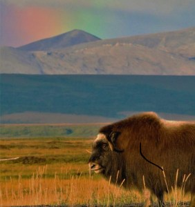 Musk oxen animal united states