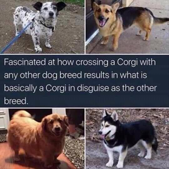 Corgi mix meme funny dog hybrids