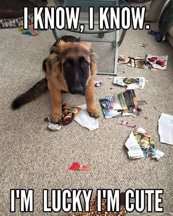 Memes German shepherd puppy destroying everything