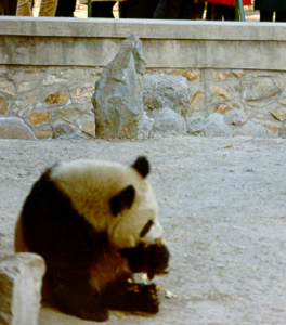 First Chinese panda in an American Zoo