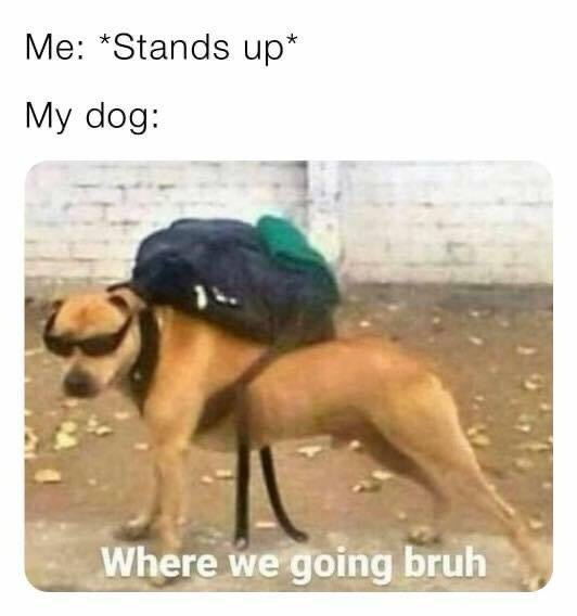Memes Dogs wanting to go on trip