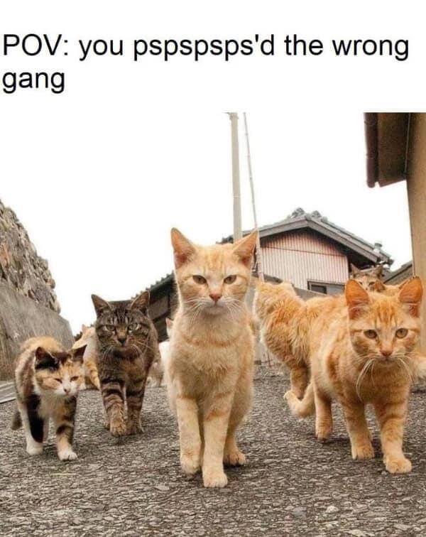 Memes Gang of angry cats