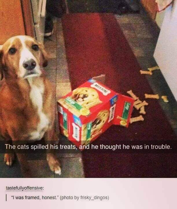 Memes Dog thanking he is in trouble because of the cat