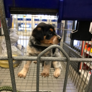 Cutest puppy at Lowes home improvement