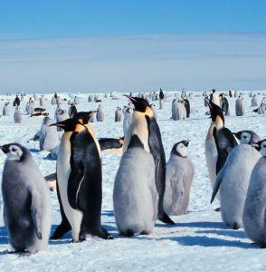 Emperor penguin family Antarctica