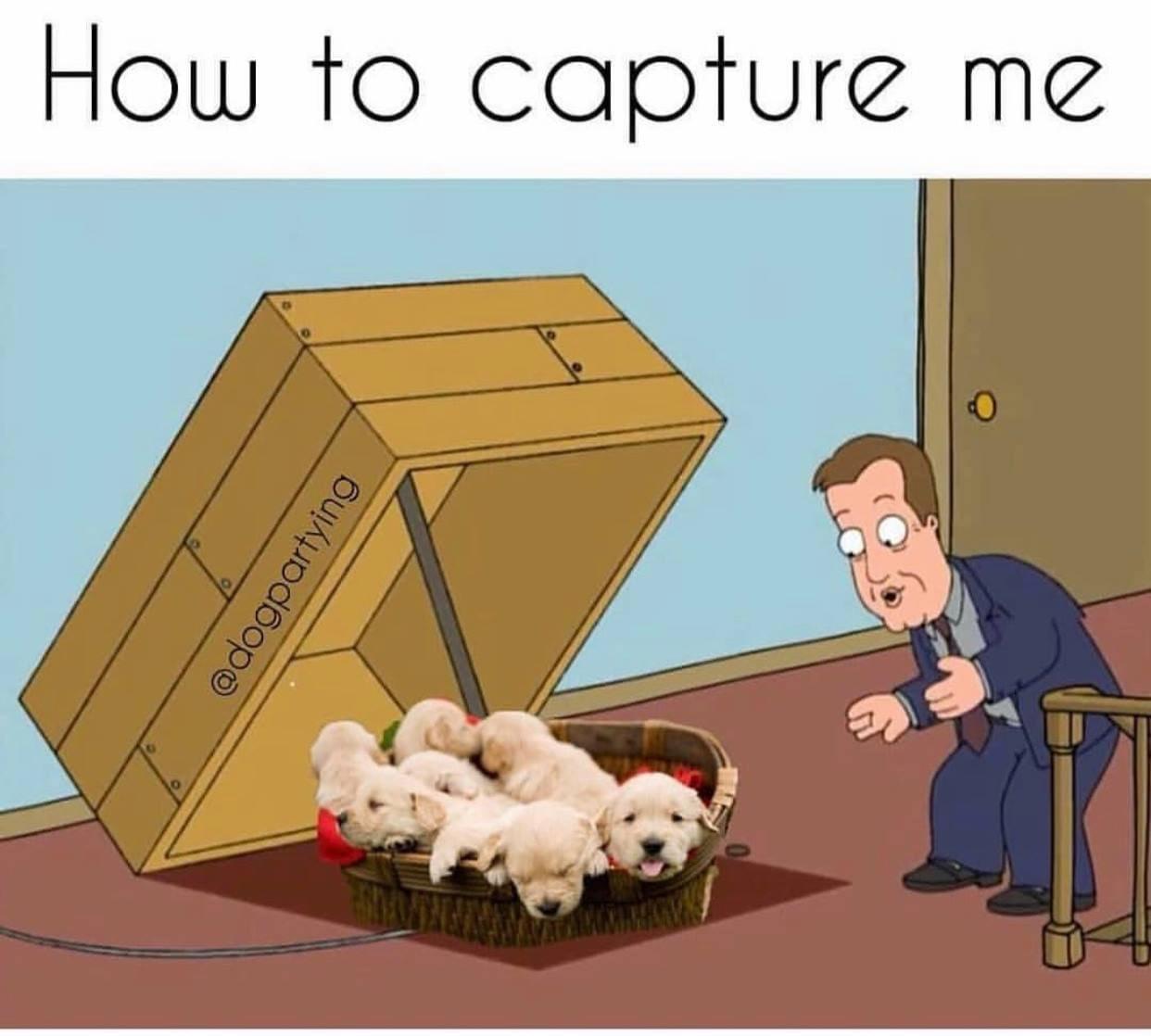 Memes Boxer puppies