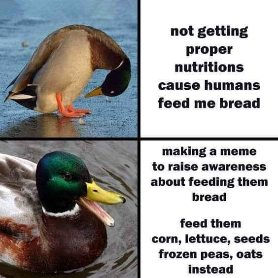 Memes What to feed ducks at the park