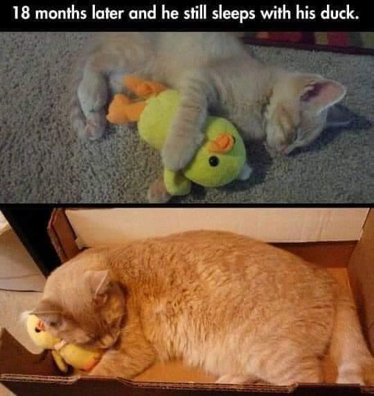 Memes Cats sleeping with stuffed animal