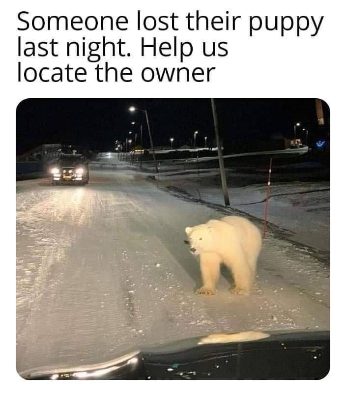 Memes Polar bear in Street Road