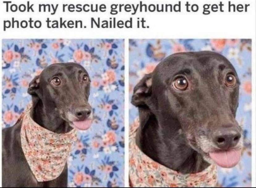 Memes Rescue greyhound