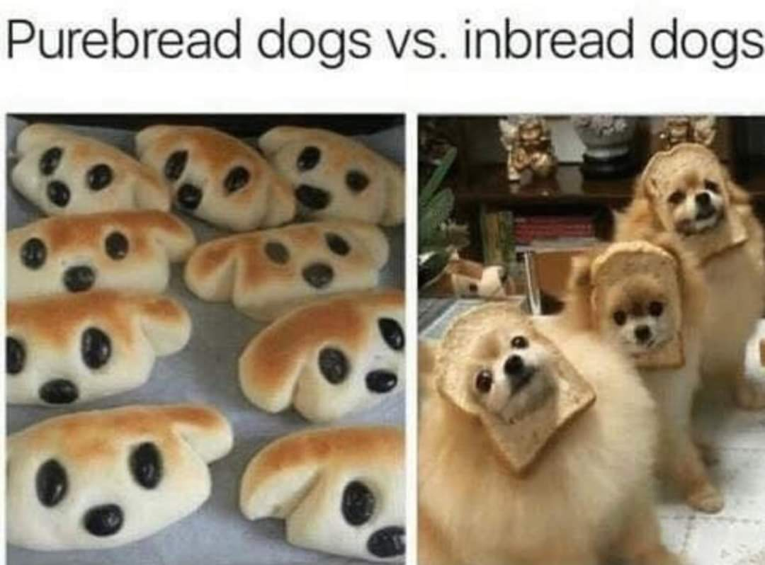 Memes Pure bred dogs versus inbred dogs