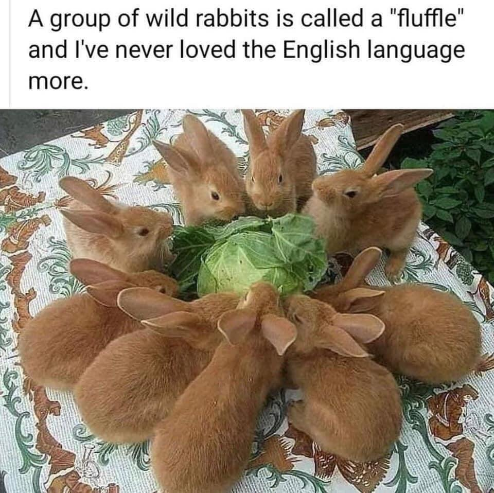 Memes What a group of rabbits are called