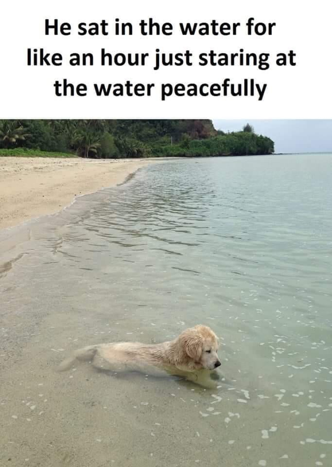 Memes Golden retriever puppy at the beach