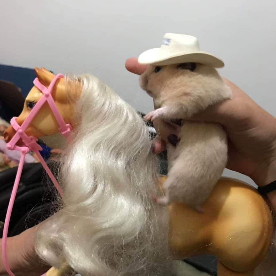 Memes Hamster with cowboy hat