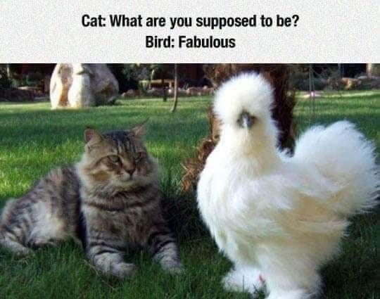Memes The most fabulous bird