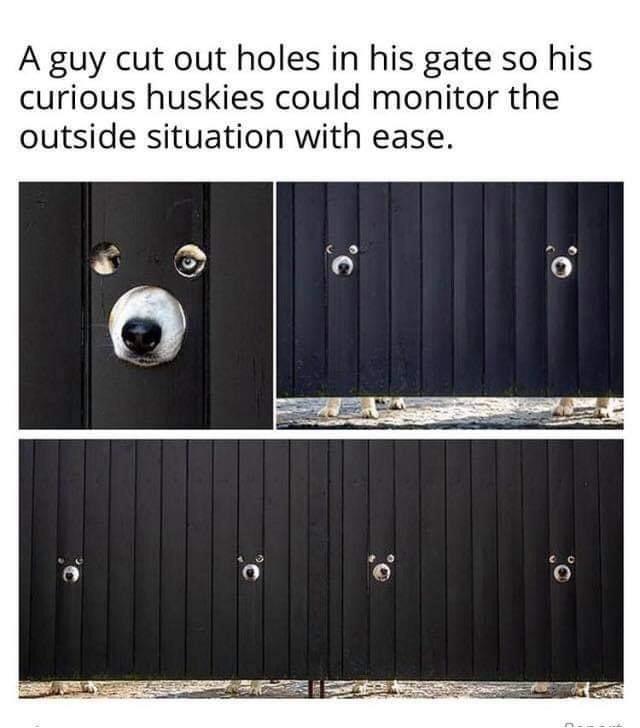 Memes funny husky dogs