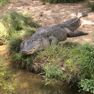Alligator Riverbanks zoo Columbia sc