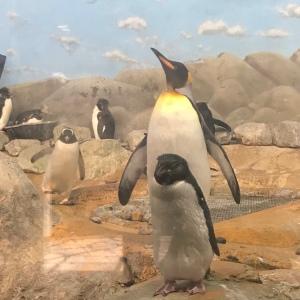 King penguin Riverbanks zoo Columbia sc