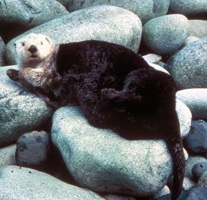 Sea otter laying on rocks