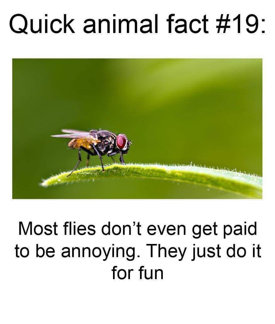 Memes fun facts about flies