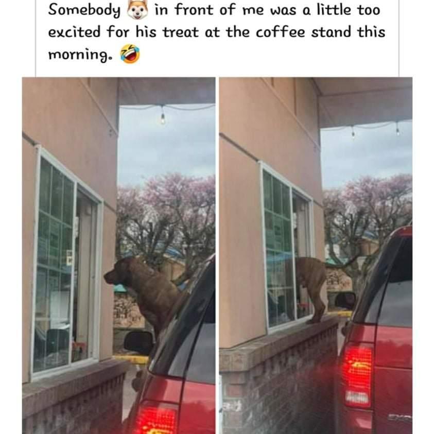 Memes dog eating treat at Starbucks