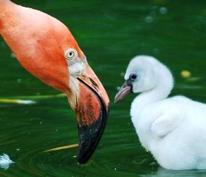 Flamingo mama and baby