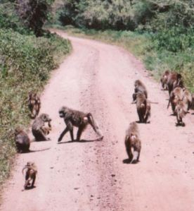 Baboons on dirt road Africa