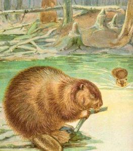 Beaver eating wood