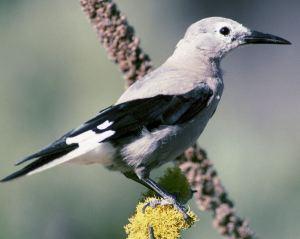 Clark's Nutcracker Bird on branch