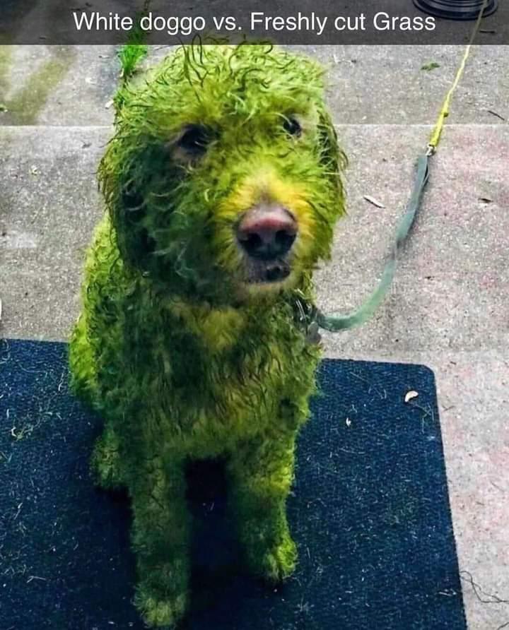 Memes white dog wet grass