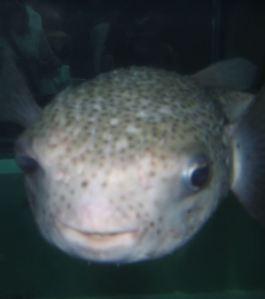 Pufferfish pacific ocean