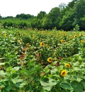 Sunflower field Beechwood farm Marietta south carolina