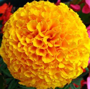 Marigold flower fun facts