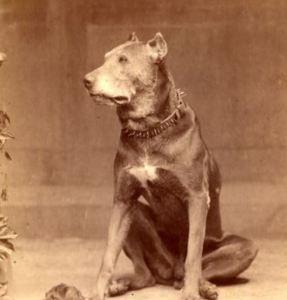 Spiked Dog Collar on pitbull