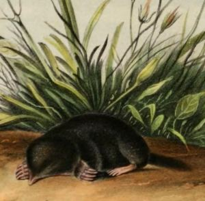 Fun facts about moles