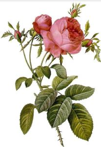 Fun facts about cabbage roses