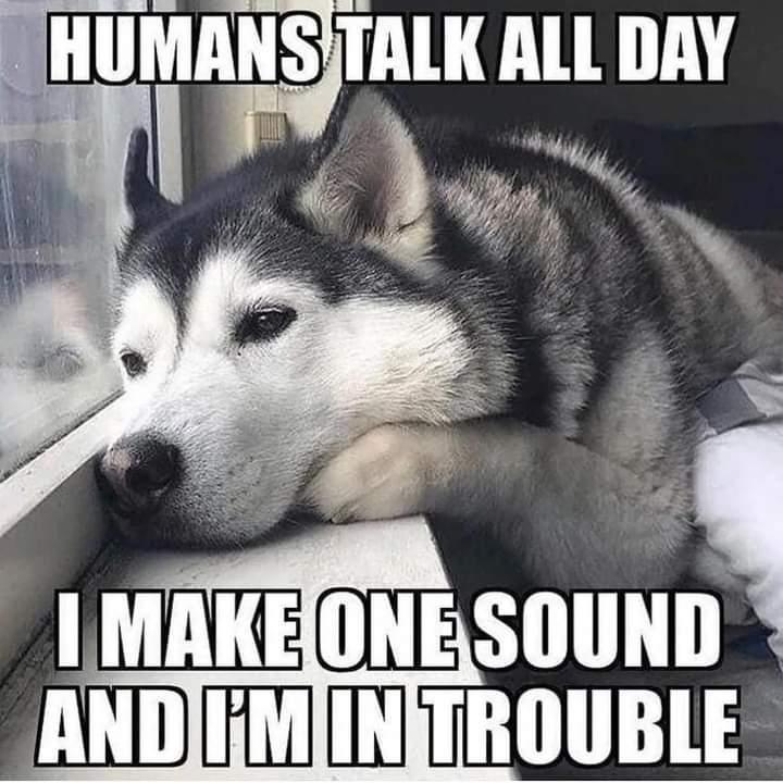 Memes sad husky dog