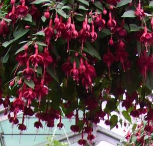 Fun facts about fuchsia flowers
