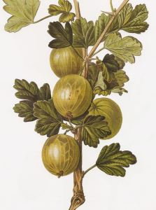 Fun facts about gooseberries