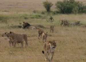 Fun facts about lions