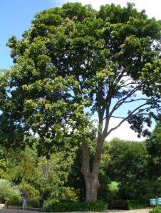 Fun facts about mahogany
