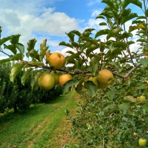 Green apples growing on tree Justus Orchard Hendersonville NC