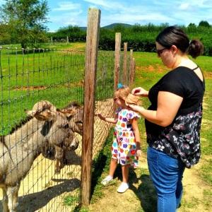 Feeding donkeys Justus Orchard Hendersonville NC