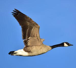 Fun fact about Canada Goose