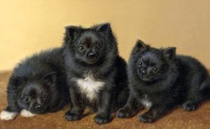 Fun facts about pomeranians