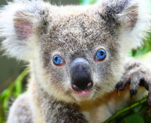 Fun facts about koalas